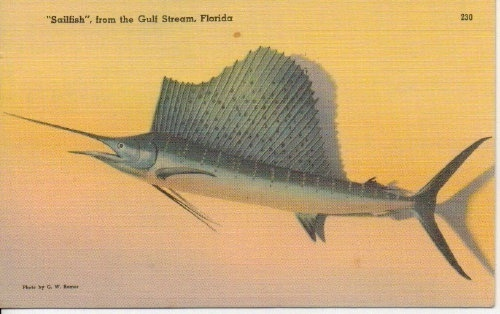 Image for Sailfish, From The Gulf Stream, Florida